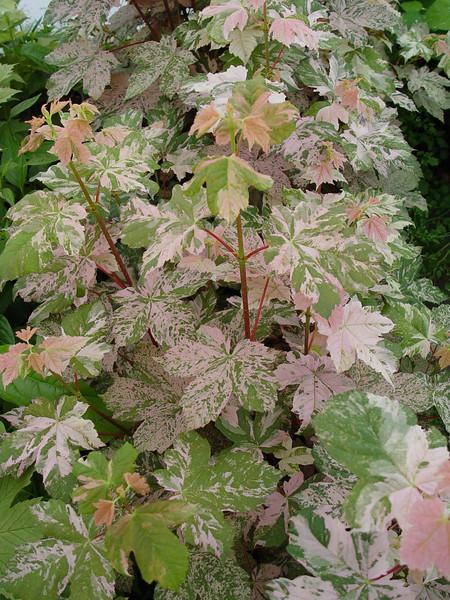 Acer pseudoplatanus 'Esk Sunset'
