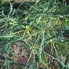 Aesculus hippocastanum 'Lacineata'