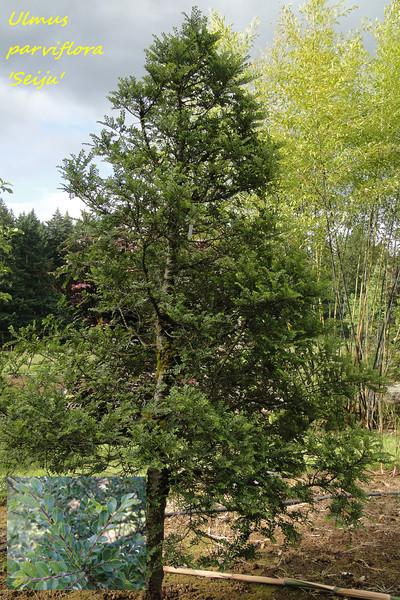 Ulmus parviflora 'Seiju'