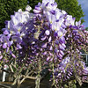 Wisteria 'Southern Belle'