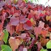 Vitis ficifolia var lobata