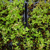 Fuchsia magellanica RCH402