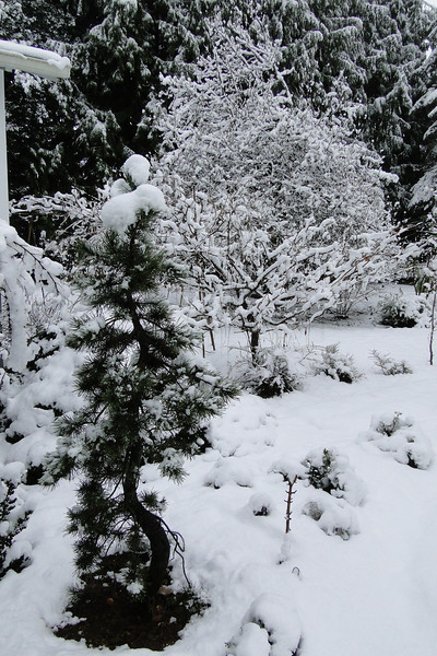 Pinus contorta in the foreground<br /> March 1st Garden Snowpocalips I,