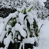 Kniphofia northiae<br /> March 1st Garden Snowpocalips I,