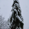 Sequoiadendron giganteum 'Pendulum'<br /> March 1st Garden Snowpocalips I,