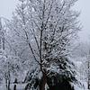 Acer griseum<br /> March 1st Garden Snowpocalips I,