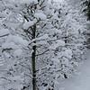 Parotia persica 'Vanessa'<br /> March 1st Garden Snowpocalips I,