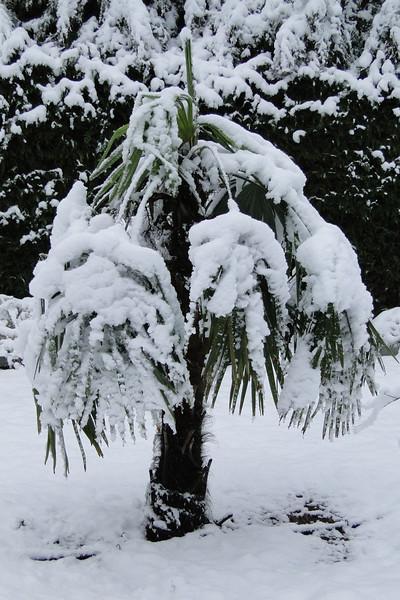 Trachycarpus fortunei<br /> March 1st Garden Snowpocalips I,