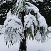 Trachycarpus fortunei<br /> March 1st Garden Snowpocalips I,