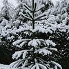 Araucaria araucana <br /> March 1st Garden Snowpocalips I,