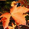 Acer platanoides x Acer griseum