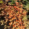 Acer platanoides x griseum<br /> (Buchholz)