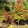 Aesculus chinensis