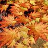 Acer shirasawanum 'Sodo no Uchi'