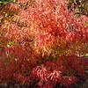 Acer buergerianum 'Mina Yatsubusa'