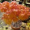Acer palmatum Mikawa Yatsubusa