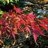 Acer palmatum 'Ara Kawa'