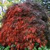 Acer palmatum 'Tamukeyama'