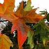 Acer saccharum 'Monumentale'