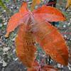 Acer elegantulum