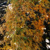 Acer palmatum 'Goshiki Shidare'