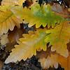 Quercus dentata 'Carl Ferris Miller'