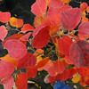 Fothergilla gardenii 'Chatanooga'