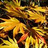 Acer shirasawanum 'Palmatifolium'