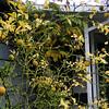 Poncirus trifoliata JCRA Form