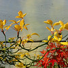 Poncirus trifoliata 'Flying Dragon'