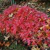 Acer palmatum 'Geisha'