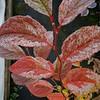 Stewartia pseudocamellia - Plantmad Nursery Variegated Form