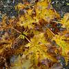 Acer platanoides - Bill Janssen Strain