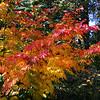 Acer pseudosieboldii x japonicum