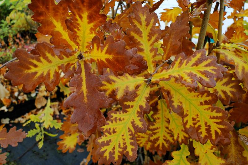 Quercus robur 'Pendula'