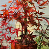 Acer palmatum 'Ryusei'