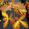 Quercus robur - Ganllywd