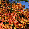 Cotinus coggygria 'Ancot' Golden Spirit™