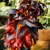 Acer palmatum 'Hupps Dwarf'