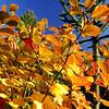 Fothergilla gardenii 'Windy City'