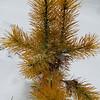 Pinus contorta Chief Joseph 140207b