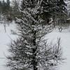 Ulmus parvifolia 'Seiju'