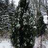 Pinus nigra 'Arnold Sentinel'
