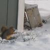 A busy Squirrel
