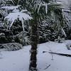 Tachycarpus fortunei