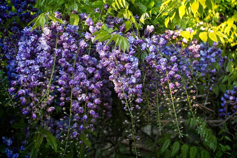 Wisteria floribunda 'Violacea Plena' 2020/05/09