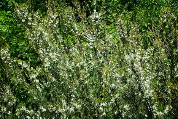 Hakea macrophylla 2020/05/17