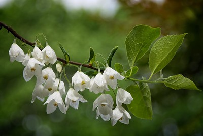 Halesia magniflora 'Guys Form' 2020/05/12