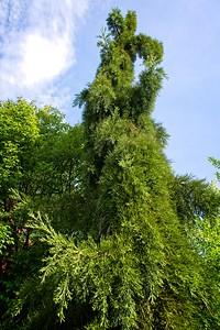 Sequoiadendron giganteum 'Pendulum' 2020/05/30