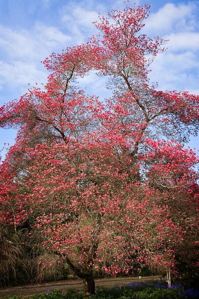 Plantmad Garden - Cornus florida f. rubra